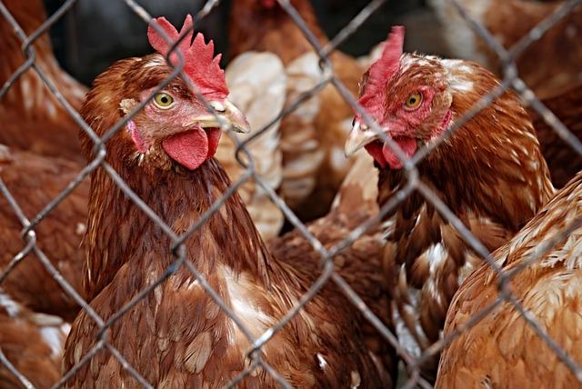 Nog steeds risico op vogelgriep: ophokplicht blijft van kracht